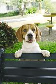 Beagle Bench