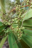 Palmetto Berries Closeup