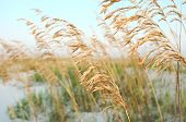 Sea Oats In The Dunes