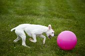 dog playing with pink ball