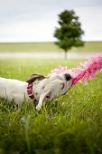 Dog Playing with Pink Boa