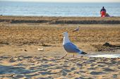 Walking Gracefull Black-tailed Gull (seagull) Along The Seashore On A Sunny Day, Zaandvort, Northsea