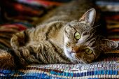 Arrogant Short-haired Domestic Beautiful Tabby Cat Lying On The Fluffy Striped Carpet. Pet Care And  poster