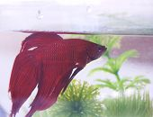 image of fighter-fish  - side view of a chinese fighting fish  - JPG