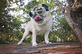 cute pug with goggles on licking her nose standing on a log during summer toned with a retro vintage poster
