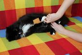 Mistress Combing Her Cat. Caring For Cat Fur. Woman Hand Combing By Comb Black And White Fluffy Cat. poster