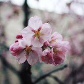 Pink Sakura Bloom. Spring Season. Toned Photo. Flowers Bloom In Spring Season. Sakura Blossom Time.  poster