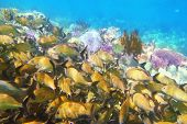 Caribbean sea reef yellow Grunt fish school  Haemulon flavolineatum in Mayan Riviera Mexico