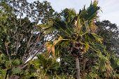 Sea Coconut Or Lodoicea Maldivica Also Known As Coco De Mer Or Double Coconut. Female Palm poster