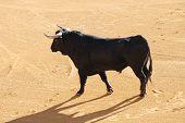 Black Bull In The Spanish Bullfighting Arena