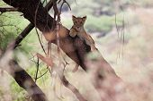 Young Lion Relaxing An A Tree Branch In Lake Manyara National Park, Tanzania