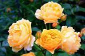 Bright Big Orange Roses. Delicate Large Orange Roses On The Bushes. Orange Rosebuds. Rose Bush In Th poster