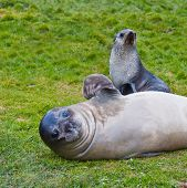 Fur Seal Waving Flipper With Pup