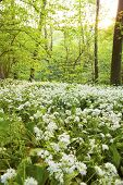 Springtime wild garlic forest.