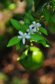 Orange And Orange Blossoms In Garden, Closeup With Flowers Hanging On A Orange Tree poster