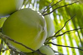 Green Coconut Growing On Palm Tree. Coconut In Sunlight. Coco Nut Palm Tree. Green Nut On Tree Close poster