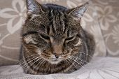 Portait Of Striped Domestic Cat Laying On Sofa. Tired Cat Relaxed At Home. Close Up Of Fat And Old D poster