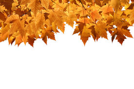 pic of fall leaves  - Golden Fall maple leaves with blank background - JPG