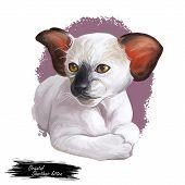 Oriental Shorthair Kitten With Large Ears Digital Art Illustration. Watercolor Portrait Of Siamese K poster