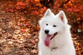 Samoyed Dog Portrait In Autumn Forest Near Red Leaves . Canine Background. Walk Dog Concept poster