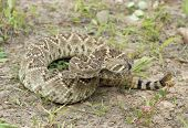 picture of western diamondback rattlesnake  - Western diamondback rattlesnake tasting the air with his tongue - JPG
