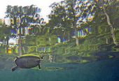 image of cooter  - A Peninsula Cooter turtle Pseudemys floridana peninsularis surfaces for air in the crystal clear freshwater of Morrison Springs shoreline with mossy rocks and submerged tree trunks underwater and Cypress trees above water at the state park near Red Bay FL - JPG