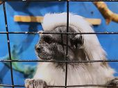 A Cotton Top Tamarin In Closeup, Tropical Critically Endangered Monkey From Colombia In The Cage. t-shirt