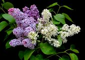 A Bouquet Of Lilacs On A Black Background