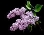 Blooming Lilac Branch (syringa) Closeup