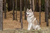 Cute fluffy purebred husky dog with collar and leash sitting in the forest among pinetree trunks poster