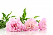 Three pink peonies isolated on white