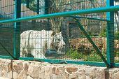 Bengal White Tiger At Enclosure In Zoo On Sunny Day poster