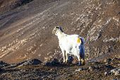 goat in the wild mountain