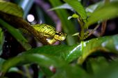 A Sri Lankan Green Pit Viper (trimeresurus Trigonocephalus) Coiled In Low Branches Over A Small Stre poster