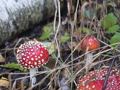 Close Up Red Toadstool Amanita Muscaria, Commonly Known As The Fly Agaric Or Fly Amanita, Mushrooms  poster