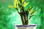 Lucky Bamboo (Dracaena sanderiania) plant
