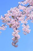 Full Bloomed Cherry Blossoms And Blue Sky