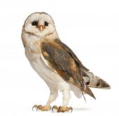 Barn Owl, Tyto alba, standing in front of white background