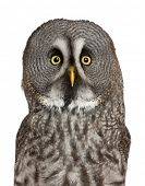 Portrait of Great Grey Owl or Lapland Owl, Strix nebulosa, a very large owl, in front of white backg