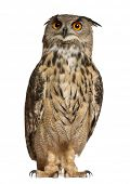 Portrait of Eurasian Eagle-Owl, Bubo bubo, a species of eagle owl, standing in front of white backgr