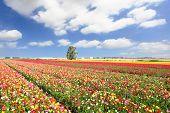 Boundless kibbutz field sown with flowers. The magnificent garden buttercups