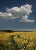 Barley Field In Germany, Gerstenfeld Bei Kassel