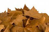 Autumn Sweetgum Leaves