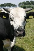 Bull With Snout Ring