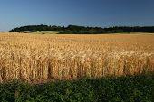Idyllic Barley Field In Germany