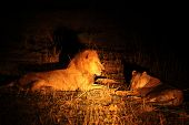 A Pair Of Lions (panthera Leo) Lying Together After Coupling. Lions Love In Zambia, South Luangwa. B poster