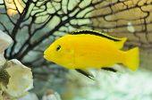 Amarelo elétrico espécie de peixe no aquário