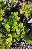 Hojas de Uva Ursi hierba en su hábitat