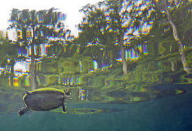 picture of cooter  - A Peninsula Cooter turtle Pseudemys floridana peninsularis surfaces for air in the crystal clear freshwater of Morrison Springs shoreline with mossy rocks and submerged tree trunks underwater and Cypress trees above water at the state park near Red Bay FL - JPG