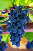 Fine bunch of fresh blue grapes close-up
